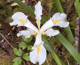 Iris bracteata