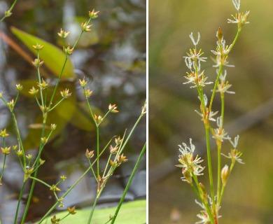 Juncus pelocarpus