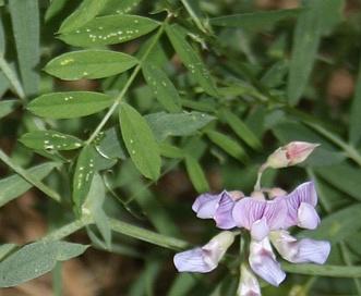Lathyrus lanszwertii