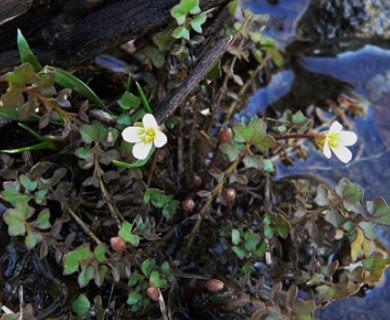 Leavenworthia uniflora