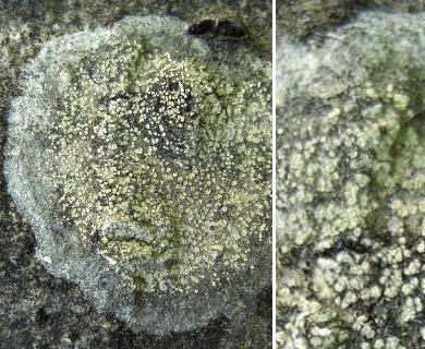 Lecanora impudens