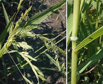 Leersia oryzoides
