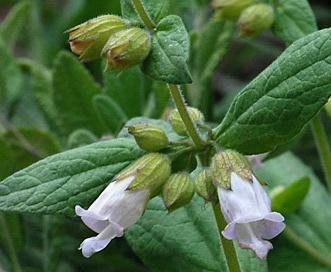 Lepechinia calycina