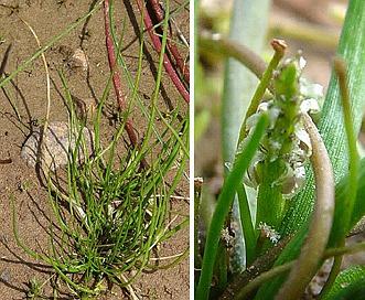 Lilaea scilloides