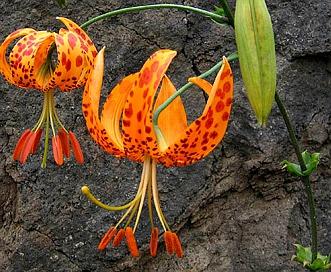 Lilium humboldtii