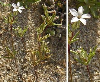 Linanthus bigelovii