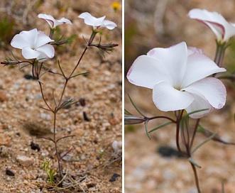 Linanthus dichotomus