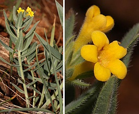 Lithospermum californicum