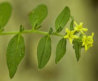 Lithospermum tuberosum