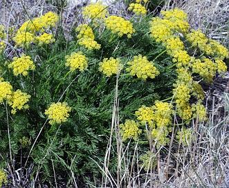 Lomatium nuttallii