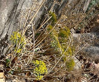Lomatium parryi