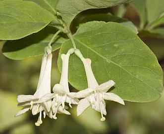 Lonicera utahensis