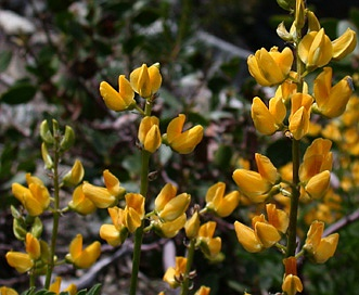 Lupinus luteolus