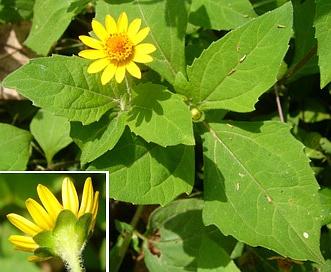 Melampodium divaricatum