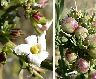 Menodora spinescens