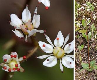 Micranthes idahoensis