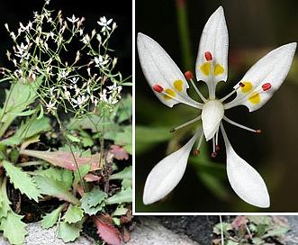 Micranthes petiolaris