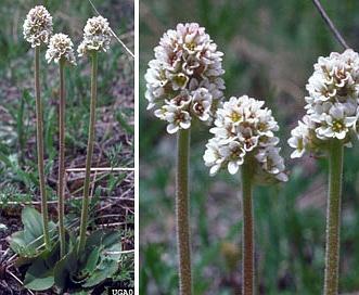Micranthes rhomboidea
