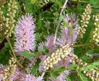 Mimosa distachya