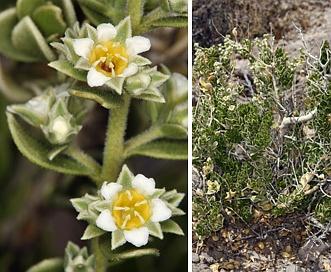 Mortonia utahensis