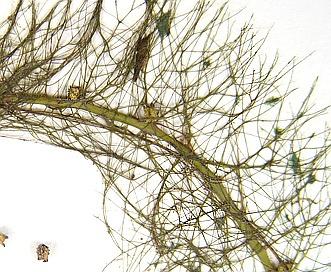 Myriophyllum farwellii