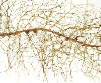 Myriophyllum humile