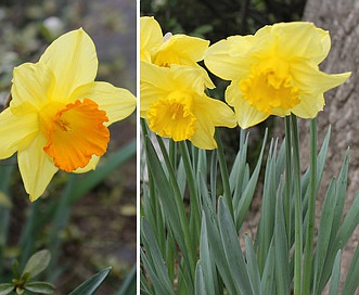 Narcissus pseudonarcissus
