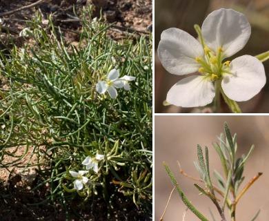 Nerisyrenia linearifolia