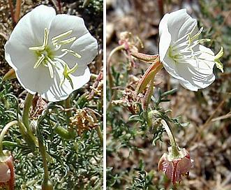 Oenothera coronopifolia