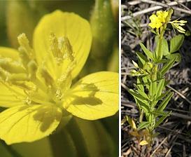 Oenothera perennis