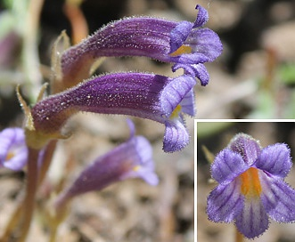 Orobanche uniflora