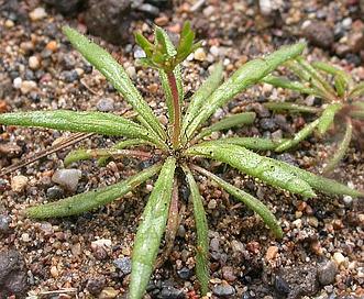 Oxytheca dendroidea