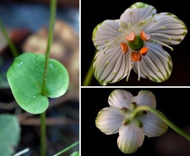 Parnassia grandifolia