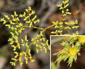 Paronychia jamesii