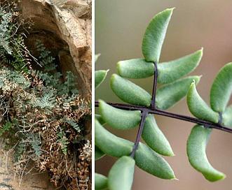 Pellaea truncata