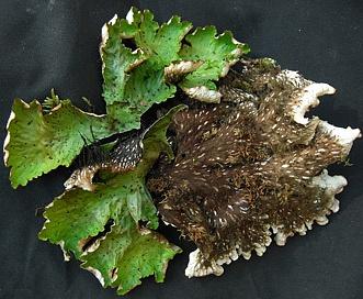 Peltigera leucophlebia