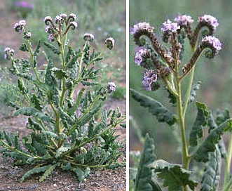 Phacelia integrifolia