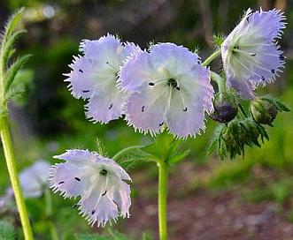 Phacelia purshii