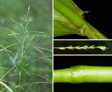 Phanopyrum gymnocarpon