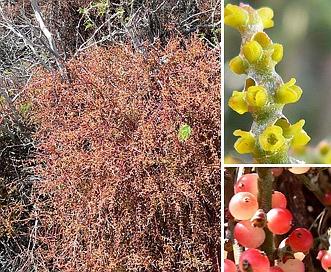 Phoradendron californicum