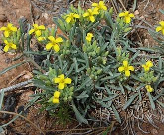 Physaria intermedia