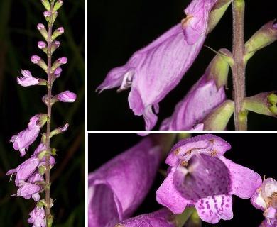 Physostegia purpurea