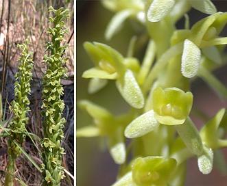 Piperia michaelii