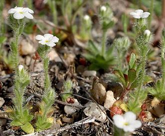 Plagiobothrys tenellus