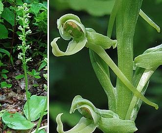 Platanthera hookeri