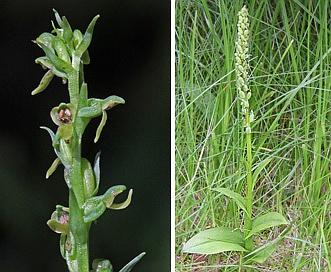 Platanthera purpurascens