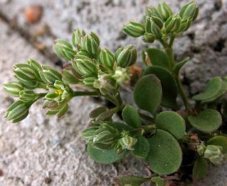 Polycarpon tetraphyllum