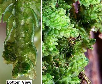 Porella platyphylla