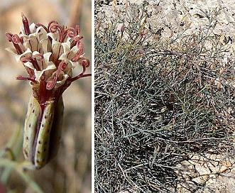 Porophyllum gracile
