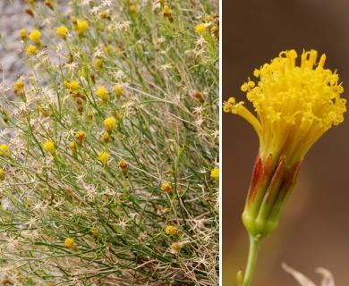 Porophyllum scoparium